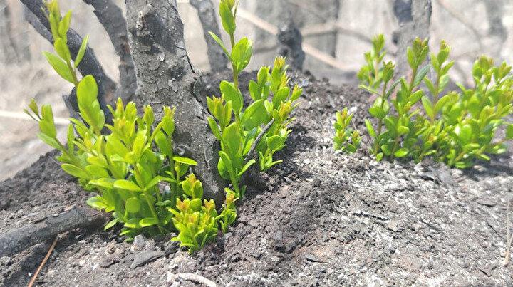 Marmaris ve Datçadaki yanan orman alanlarında doğa yeniden canlanmaya başladı
