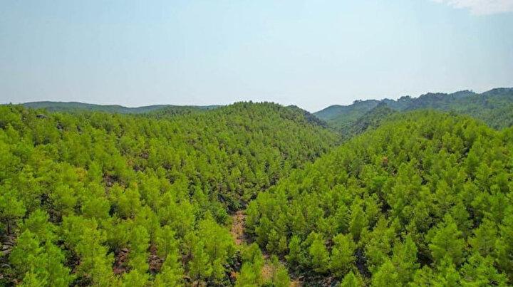 Küllerinden doğdu: Manavgatta 13 yıl önce yanan orman yeniden yeşile döndü