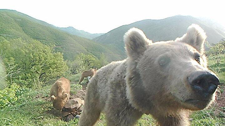 İlginç anlar: Yalaklarda serinleyen vaşak ve ayılar fotokapanda
