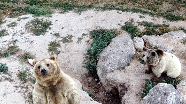 İlk kez drone gören ayıların sevimli halleri gülümsetti