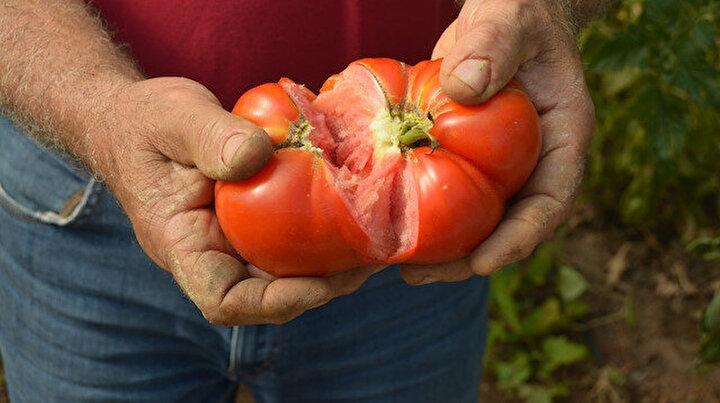 Tanesi ortalama bir kilo geliyor: Bu domatesler ağırlıklarıyla dikkat çekiyor