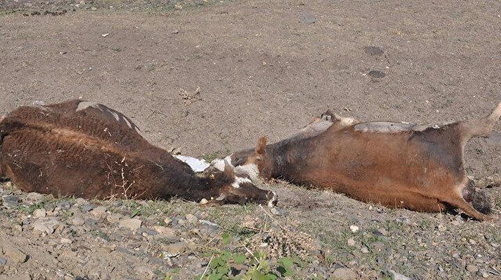 Kars'ta şüpheli hayvan ölümleri korkuttu: Akciğerleri patlayan 50 hayvan öldü 100 hayvan zehirlendi