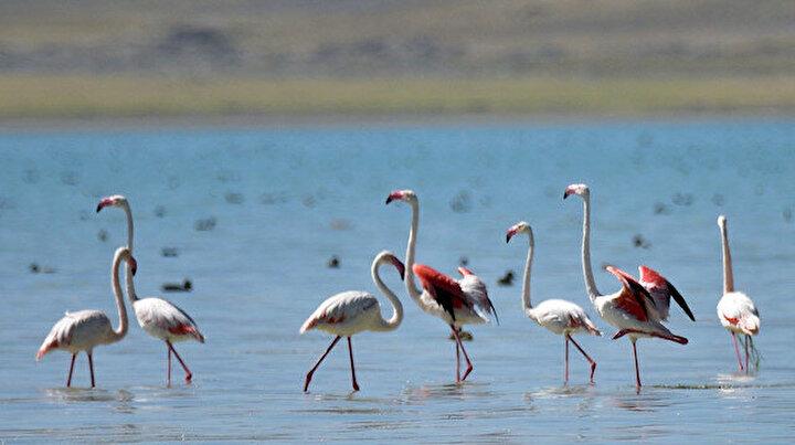 Bitlisteki Arin Gölü'nde flamingoların görsel şöleni