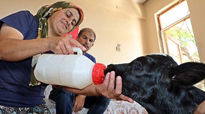Prematüre doğan buzağını evine aldı: Biberonla besleyip altını bezliyor