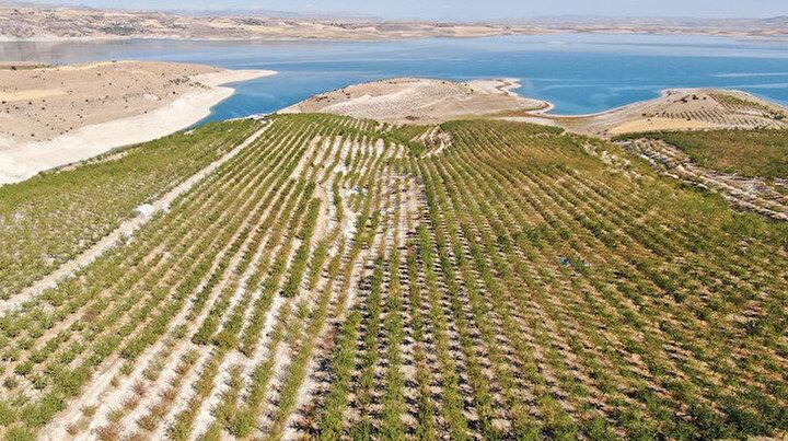 Devletten destek aldı: Bin dönüm arazi üzerine ektiği ürünlerin hasadına başladı