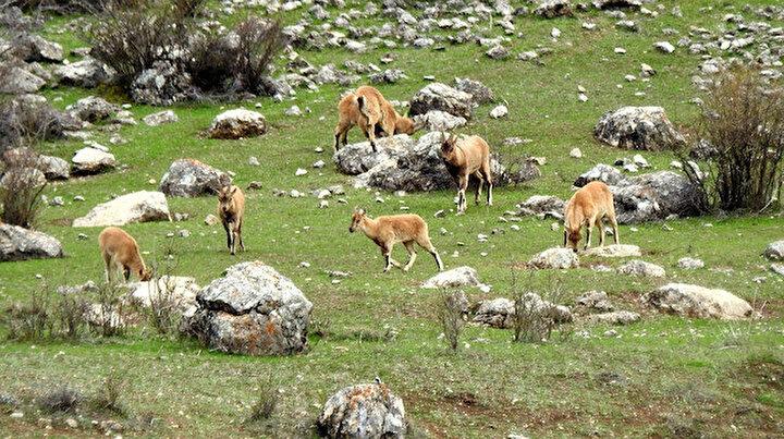 Terörden temizlenen Munzur Dağlarına yaban keçileri güzellik katıyor