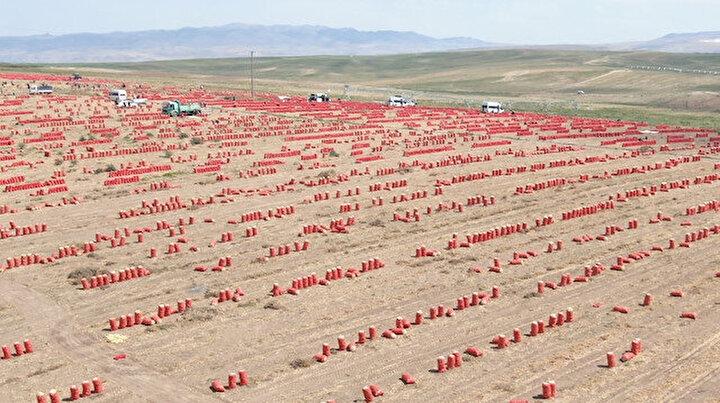 Yemeklerin olmazsa olmazı: Söküm başladı tarlalar kırmızıya büründü