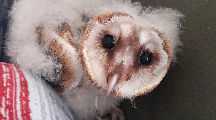 Yavru peçeli baykuş Fışfış 3 aylık bakım sonrası doğaya salındı