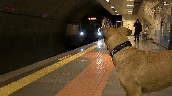 Toplu taşımayla İstanbulu turlayan köpek Bojiye GPS takıldı: Bir günde 29 durak gezdi