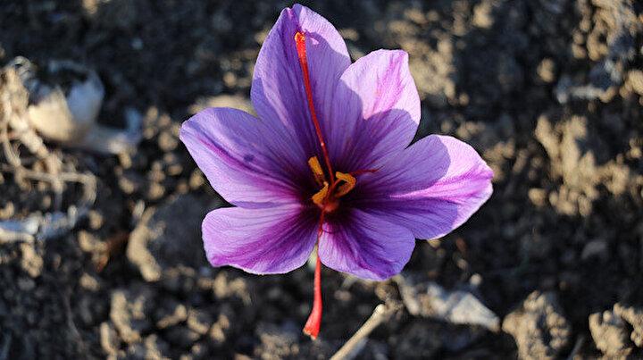 Mucize bitki safran çiçek açtı: Kilogramı 60 bin liradan satılıyor