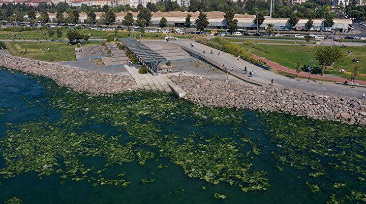 Yeşile büründü: Kirlilikten beslenen deniz marulu İzmir Körfezinde yayılıyor