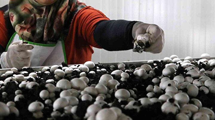 Bu tesiste ayda 50 ton mantar hasat ediliyor: 10 milyon liralık maliyetle kuruldu