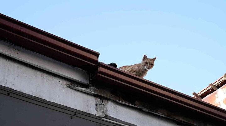 İnsanlara küsen kedi dört yıldır çatıdan inmiyor: Hikayesi çok büyük