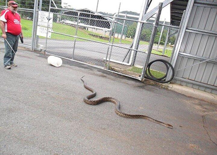 Yakalanan yılanın şu ana kadar karşılaştığı en büyük piton olduğunu belirten Goodwin, fare sorununu çözmesi için canavarı atık istasyonuna götüreceklerini bildirdi.
