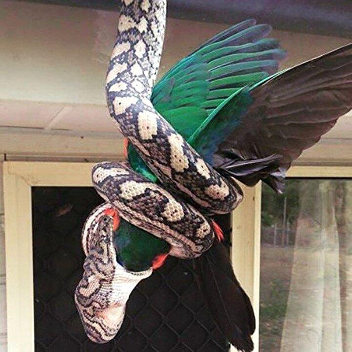 Bir evin çatısından sarkan piton yılanı, çatıya tüneyen papağanı canlı canlı yuttu.