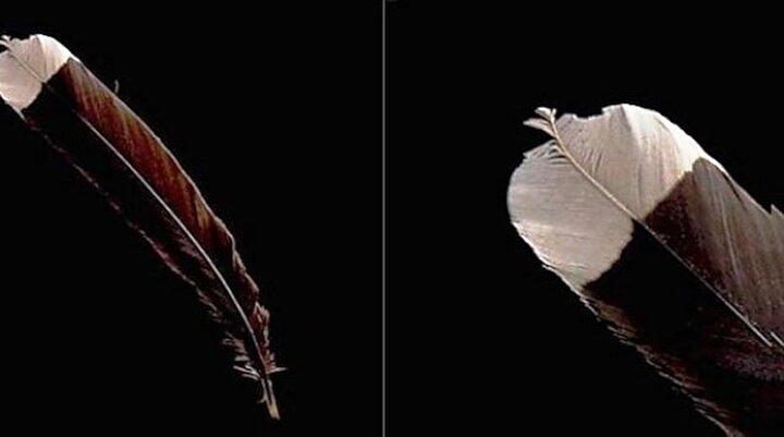 Nesli tükenmiş olan Huia kuşunun tüyü 8 bin 400 dolara satıldı.