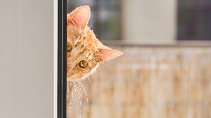 Ne düşündüklerini ve bir sonraki adımlarını asla tahmin edemeyeceğimiz kediler, belki de bu sebeple CIAin saha operasyonları için en çok tercih ettiği hayvan.