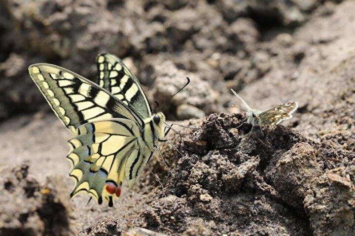 On yıldır kelebeklerle ilgili araştırma yapan ve Rosenin Çokgözlüsünü görüntülemek için İzmirden gelen kelebek gözlemcisi Alperen Yayla da Türkiyenin birçok yerinde kelebek türlerini kayıt altına almaya çalıştıklarını söyledi.