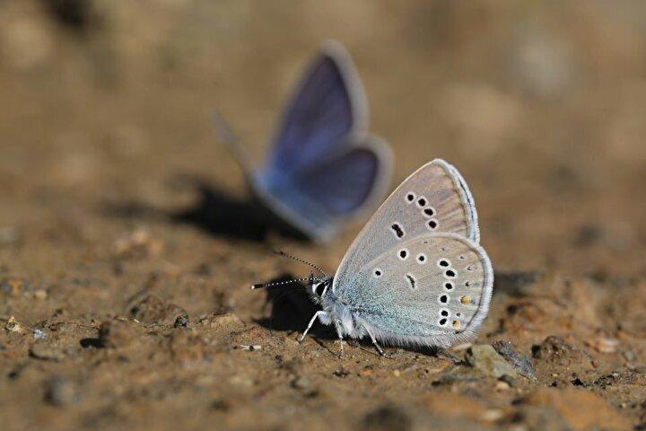 İklim özellikleri, zengin florası, yüksek rakımı ve eşsiz doğasıyla çok sayıda canlıya ev sahipliği yapan Van Gölü Havzası, birçok bitki çeşidinin bir arada bulunduğu doğada, yüzlerce kelebek türünü de barındırıyor.