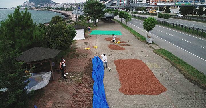 Karan, bazı üreticilerin fındığını harmanda, harmanı olmayanların ise sahildeki alanlarda kuruttuğunu kaydederek, şöyle konuştu:Kurutma işlemi sırasında üreticilerimiz fındığın başından ayrılmıyor. Üreticilerimiz hava şartları ile de mücadele ediyor. Yağmur yağdığında ürünün üzerini kapamak zorunda...