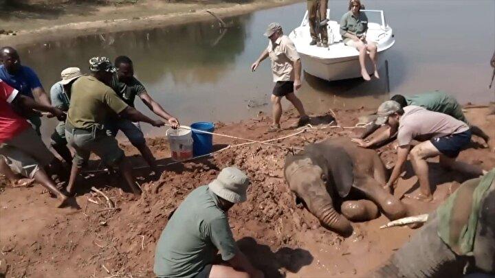Görüntüler, bölgede kaçak avlanan avcılara karşı mücadele eden bir vakfın gönüllülerince kaydedildi.Annesi ile Kariba Gölü kıyısında gezen yavru bir fil, çamura saplandı.