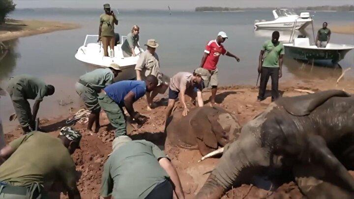 Ekiplerin ayrılmasının ardından kısa bir süre sonra kendine gelen anne fil, yavrusunu da alarak ormanın içine girdi.