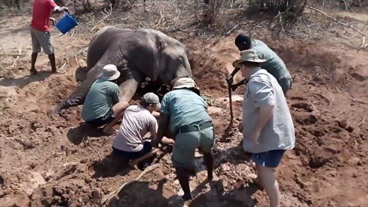 Annenin, yavrunun yanına kimseyi yanaştırmak istememesi sonrası ekipler anne fili bayıltmak zorunda kaldı.