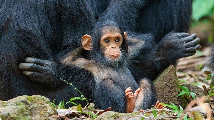 Anne kucağında keyif çatan yavru şempanze.