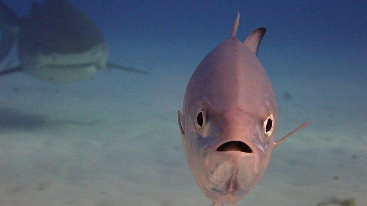 Köpekbalığının takibindeki balığın endişeli ifadesi.