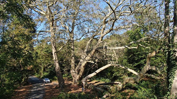 İstanbulun en eski sakinleri, yüzyıllardır yaşayan bu ağaçların korunması ile ilgili olarak ise Akkemik, şöyle devam etti: