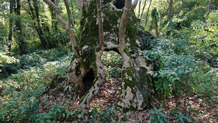 """""""Bu kentin kültürel tarihinin yanında aslında baktığımız zaman yaşlı ağaçların da olduğunu görüyoruz. diyen Akkemik, şunları söyledi:"""