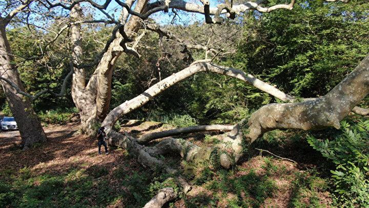 """Ağaçların yaşlarının tahmin edilmesi konusunda da çok büyük yanlışlıklar yapılabildiğini dile getiren Akkemik, """"Çünkü bu ağaçların yaşını belirlemek çok kolay değil. Özellikle bu çapa ulaşmış, 4 metre çapına ulaşmış ağaçlarda yaş vermek zor. Sadece tahmini olarak yaş verebiliriz. Tabii o tahmini yaparken de birtakım bilimsel çalışmalar yapmamız gerekiyor öncesinde. Ama bazen öyle yaş tahminleri yapılıyor ki,  ağacın çevresi ölçülüyor oradan çapa gidiyorlar, çaptan da yaklaşık şu yaştadır deniyor. Bunları bir kenara bırakırsak, İstanbulda yaklaşık 400-500 yaşlarında ağaçlar var ama bu ağaçların çoğunluğu İstanbulun eski semtlerinde. Özellikle Anadolu yakasında, kuzey kısımlarda. Beykoz civarında. Eskiden kalmış orman kalıntısı olarak tek tük ağaç var yaşlı olan dedi."""