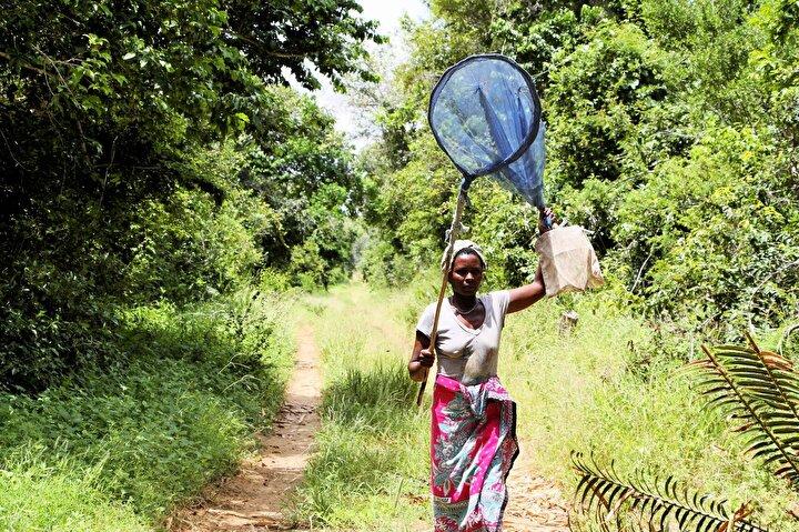 Kelebeklerin türlerine ve boyutlarına göre değişmekle birlikte genellikle birkaç hafta yaşadıklarını dile getiren Ngumbao, Az yaşadıkları için talep de yüksek oluyor. ifadesini kullandı.