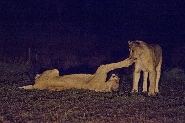 Gün doğumundan önce saat 04.00te safari turuna başlayan fotoğrafçılar, öğlen saat 12.00 sıralarında konakladıkları otellere gelip, dinleniyor.