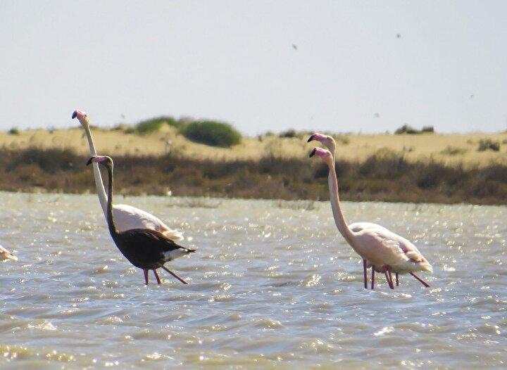 Bu yıl yine Adanada Akyatan-Tuzla Yaban Hayatı Geliştirme Sahasında Tarım ve Orman Bakanlığı Doğa Koruma ve Milli Parklar Genel Müdürlüğü görevlileri tarafından yaban hayatı izleme ve takip çalışmaları sırasında drone ile görüntülenen siyah flamingo, doğa korumacılar ve kuş gözlemciler arasında büyük ilgi uyandırdı.