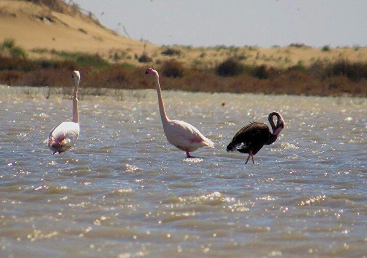 Vücutlarındaki genetik bozukluktan dolayı siyah ya da koyu kahverengi olan flamingolar, dünya üzerinde bugüne kadar çok az görülmüş durumda.