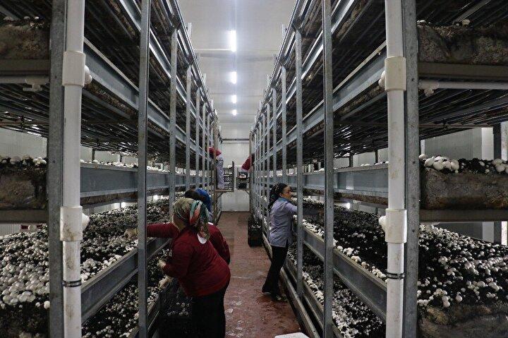 Geçmişte pazarcılık ve toptancılık yapan Yapar tarafından kurulan tesiste 135er metrekarelik 12 odada ayda yaklaşık 75 ton mantar üretiliyor.