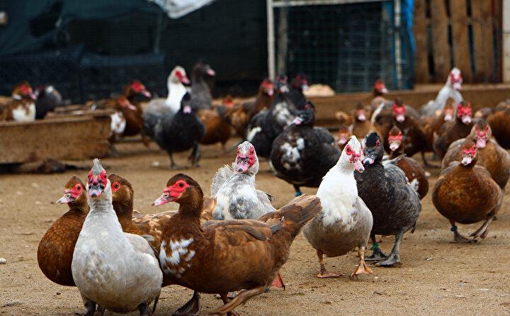 Söz konusu ördeklerin et oranının çok yüksek olduğunu ve erkeklerinin 4 kilogram ağırlığa ulaşabildiğine dikkati çeken Katman, şöyle devam etti: