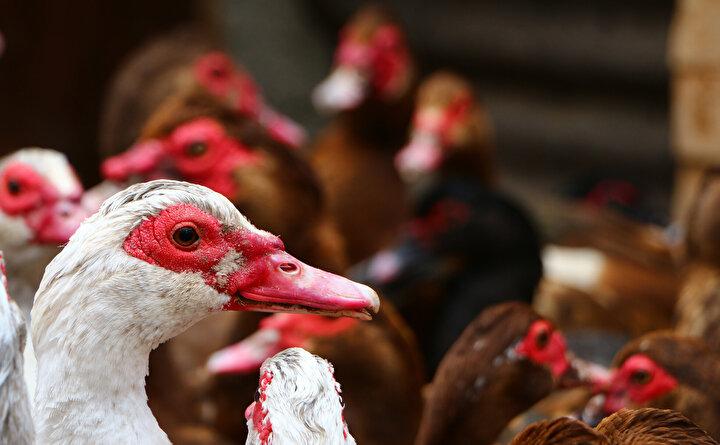 Halis Katman, maskeli ördeklerin Türkiyede fıs fıs ördek adıyla da tanındığını söyledi.
