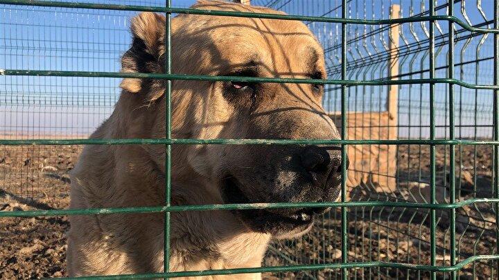 Evli ve 2 çocuk babası Tarkan Kaya, köpek merak nedeniyle Kars merkezdeki apartman dairesini sattı. Satıştan elde ettiği parayla ilçede bahçeli ev alan Tarkan Kaya, köpekleri için 4 barınak yaptı.