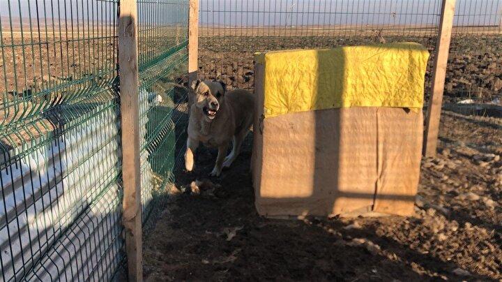 Kars Anadolu Çoban Köpeği cinsi olan 85 kilo ağırlığında ayağa kalktığında 1,5 metreyi geçen boyu olan Bereze 30 bin TL üzerinde bir değer belirleyen Kaya, Berezi çok seviyorum onu yedirmeden ben asla kendim yemek yemem. Rahat da etmem dedi.