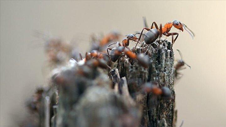 """30 yıllık başka bir Orman çalışanı ise meslek hayatı boyunca gördüğü en büyük karınca yuvası olduğunu belirtip, """"30 yıldır bu işi yapıyorum. Hayatımda ilk kez bu kadar büyük bir karında öbeği gördüm. Doğal yapısını bozmamak için ormana uygun bir şekilde koruma altına aldık"""" dedi."""