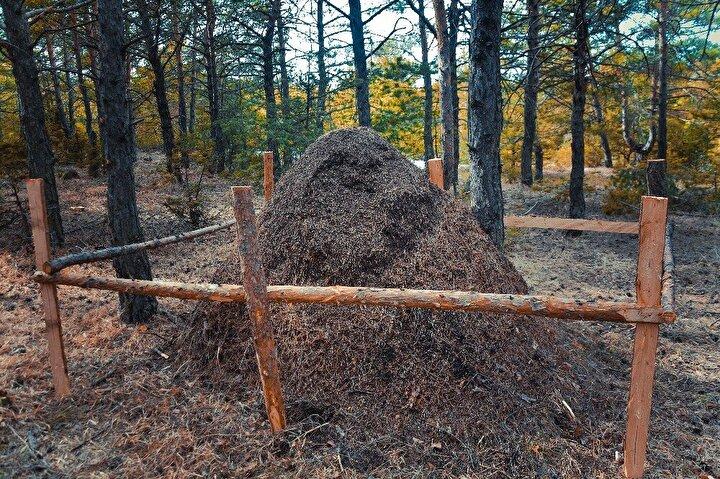 Sivas Orman İşletme Müdürlüğüne bağlı Yavu Orman İşletme Şefliği ekipleri, Sivas'ın Yıldızeli ilçesi Gündoğan Köyü çevresinde ki ormanlarda yürüttükleri damgalama çalışması sırasında karşılaştıkları dev karınca yuvası ile şaşkına döndü. İnsan boyundaki dev kırmızı karınca yuvasını gören orman ekipleri gözlerine inanamadı.