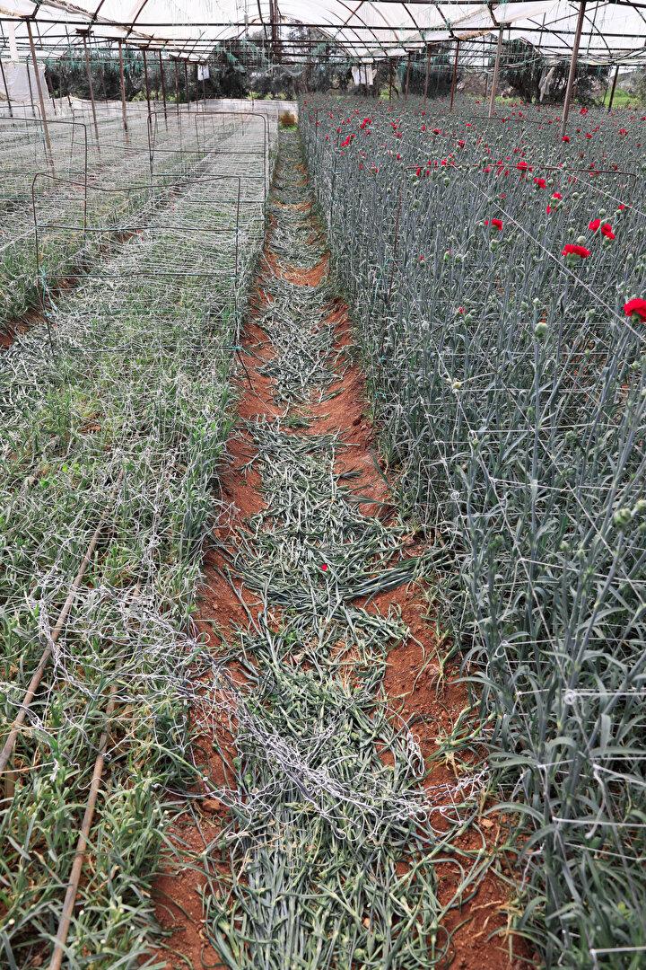 Orta Anadolu Süs Bitkileri ve Mamulleri İhracatçıları Birliği Başkan Yardımcısı, aynı zamanda Süs Bitkileri İhracatçıları Derneği Başkanı Harun Yeter, Hollandada çiçek mezadının kapanmasının ve ardından pek çok ülkeyle sınır kapılarının kapanmasının sektörü milyonlarca lira zarara uğrattığını söyledi. 2020 yılında 14 Şubat Sevgililer Günü, 8 Mart Dünya Kadınlar Gününde gelen sipariş ve hareketle sektör adına umutlu olduklarını, ancak bir anda koronavirüs salgınıyla karşılaştıklarını anlatan Yeter, Başta Hollanda mezadı olmak üzere Avrupa ve Balkan çiçek halleri mezatları kapatılmış durumda. Sınır kapıları da kapalı olunca sevkiyat yok. Sevkiyat olsa bile sokaklarda insan yok kim çiçeği ne yapsın? Hasat döneminin yarısında bu krize yakalandık dedi.