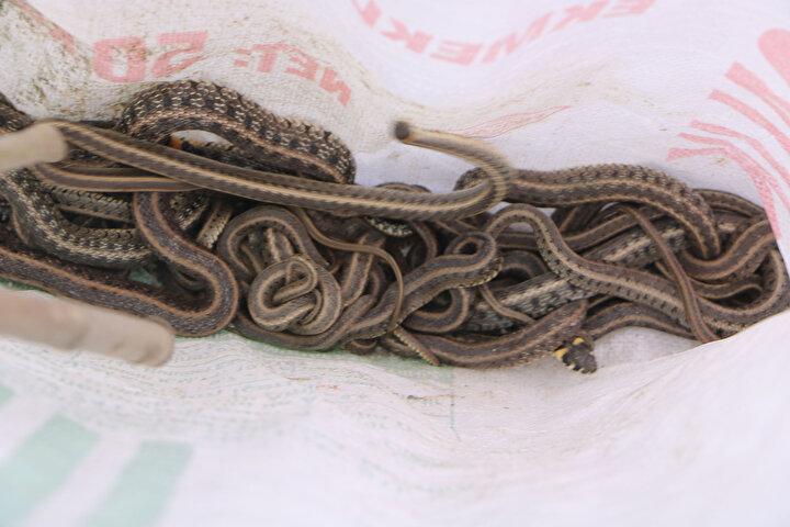 Yüksekova Belediyesinde veteriner olan Hekim Kaçan, Kaymakam ve Belediye Başkan Vekili Osman Doğramacının talimatıyla köye geldiklerini belirterek,Profesyonel ekiplerimizle birlikte evin içinde ve dışında onlarca yılan var. Ekiplerimiz evde ilaçlama yaptı. En kısa sürede evdeki yılanların dışaraya çıkmasını umut ediyoruz. Yılanlar genellikle su yılanları olup, zehirsiz yılanlardır. Köylülerle beraber topladığımız yılanları torbaya bırakıldıktan sonra köy dışında bulunan sazlığa doğal yaşamlarına bıraktık. İnşallah en kısa zamanda aileniz tekrardan evlerine dönerek yaşamlarına devam edeceklerdirdedi.