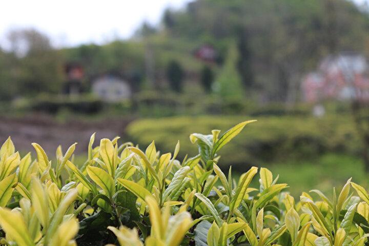 Çay hasadını bekleyenlere seyahat müjdesi
