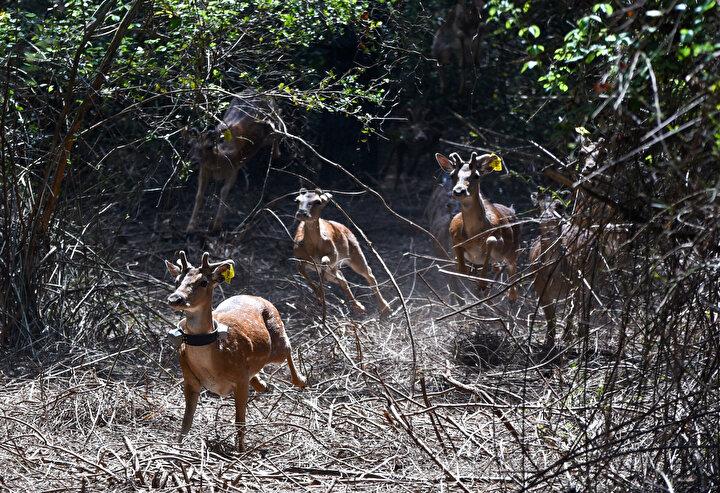 DKMP 6ncı Bölge Müdürü Rıza Kamil, alageyiklerin yaşam alanlarını artırmak için mücadele ettiklerini belirterek, Antalyada dünyanın orijin alageyiklerinin bulunduğu Eşenadası Alageyik Üreme İstasyonundan 15 adet alageyik kan ve doku örnekleri alınarak buraya nakledildi. Önce 2 bitre yükseklikteki 3 bin 200 metrekare tel örgüyle çevrili alanda 10 gün sahaya alıştırma, adaptasyon süreci geçirdiler. Bu alanda özel suluk ve yemlikler oluşturuldu. Bugün de belirlediğimiz 14 bin 600 hektarlık Yaban Hayatı Geliştirme Sahasına bıraktık dedi.