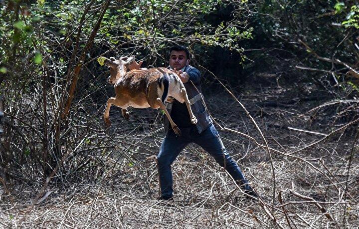 Tarım ve Orman Bakanlığı Doğa Koruma ve Milli Parklar Genel Müdürlüğü (DKMP) 6ncı Bölge Müdürlüğü, Düzlerçamı Eşenadası Alageyik Üreme İstasyonunda yarım asırdır devam eden çalışmalar neticesinde alageyiklerin sayısını 7den 500e kadar yükseltti.