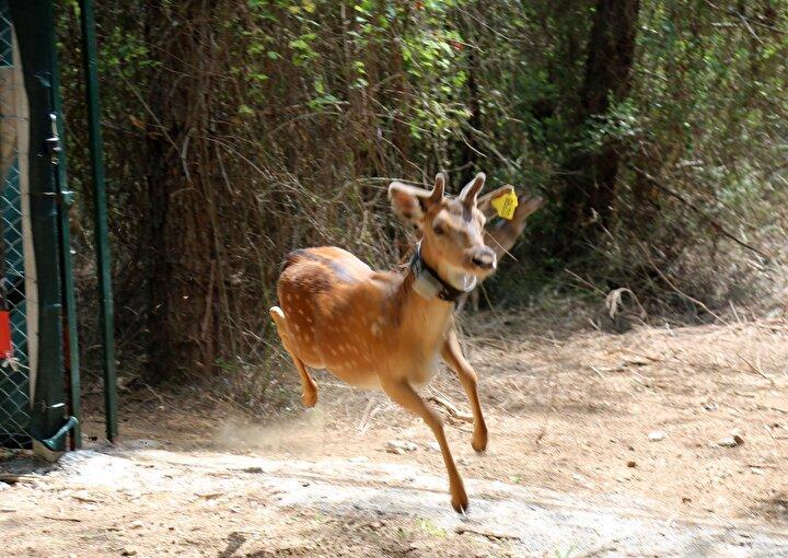 Adaptasyon sahasından dışarıya çıkma işlemi biraz zorlu olmasına ilişkin de açıklamada bulunan Rıza Kamil, Sahaya hepsi birden çıkmadı. Çünkü burası korunaklı bir alan. Yaban hayvanın özünde zaten var, alıştığı yeri terk etmek istemeyebilir. Burada biraz da kalabalık olduğumuz için koku alma duyuları yüksek hayvanlar. Doğal yaşamlarına tutunması, beslenmesi ve hayatlarını sürdürmesi için bir eylem planımız var. Bu da yaban hayvanlarının doğal yaşam ortamlarının desteklenmesi eylem planı. Burası su, besin kaynakları ve ot açısından çok uygun. Amacımız bunları sağlıklı bireyler olarak gelecek nesillere aktarılması için var gücümüzle çalışıyoruz şeklinde konuştu.