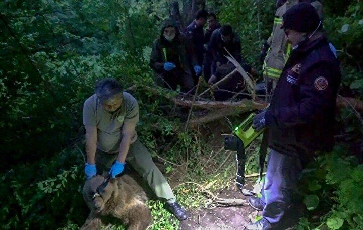 Kapan yarasının haricinde herhangi bir rahatsızlığının bulunmadığı tespit edilen 3- 4 yaşlarındaki yavru ayı tedavisinin ardından uyandırılıp doğal ortamına salındı. Görevliler ise iftarlarını ormanda su içerek açmak zorunda kaldılar.